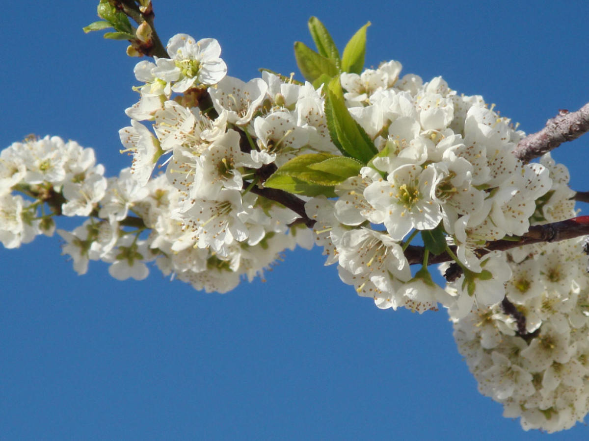 Close up of the flowery plum tree.  I resent that I can't find any photos of the peach tree flowers, because they are beautiful.  So we'll make do with a few of the plum tree.