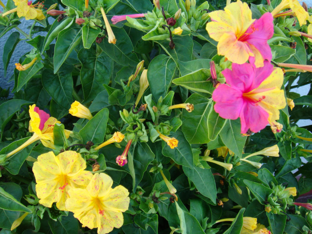 """This plant and its flowers have many names, we use """"Don Diego de Noche"""", Don Diego of The Night.  Most names reference """"night"""", alluding to the fact that the flowers open at dusk and stay open all night long."""