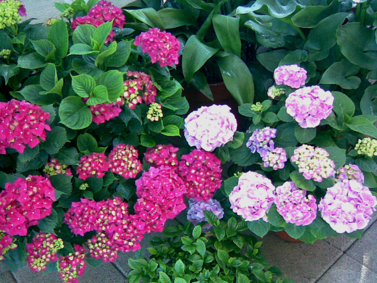 Hydrangeas, the pink one on the right is its most usual color.  Instead the deep pink, not-quite-fuchsia-but-close on the left, is very unusual, at least in Madrid!