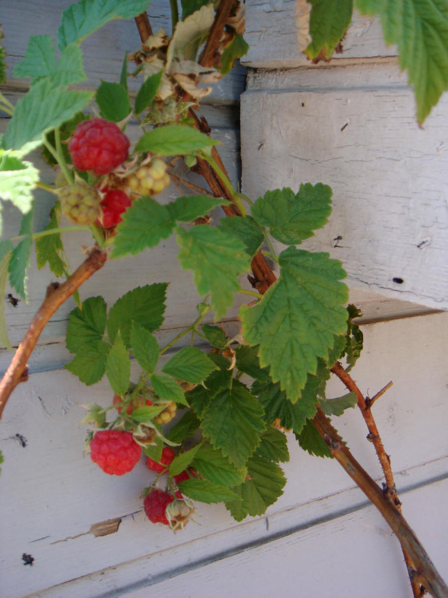 Raspberry tree!  Or is that plant? Any which way, here's them little cuties before they are ... gasp.... eaten!