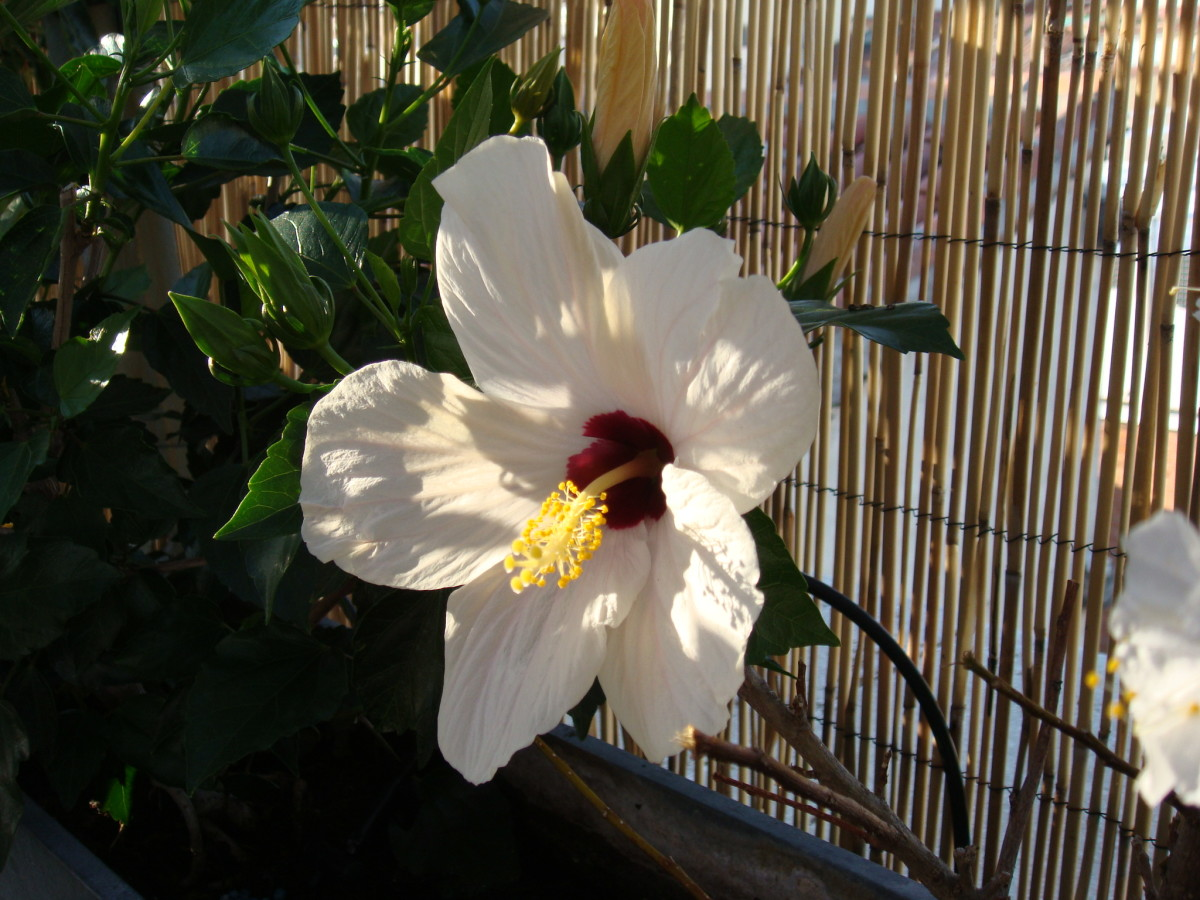Hibiscus flower!  We've had them orange, red and white.  I can't find photos of the other colors, so...
