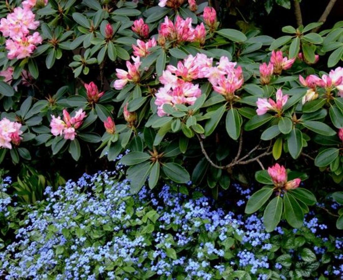 Brunnera macrophylla, Jack Frost, Siberian Bugloss