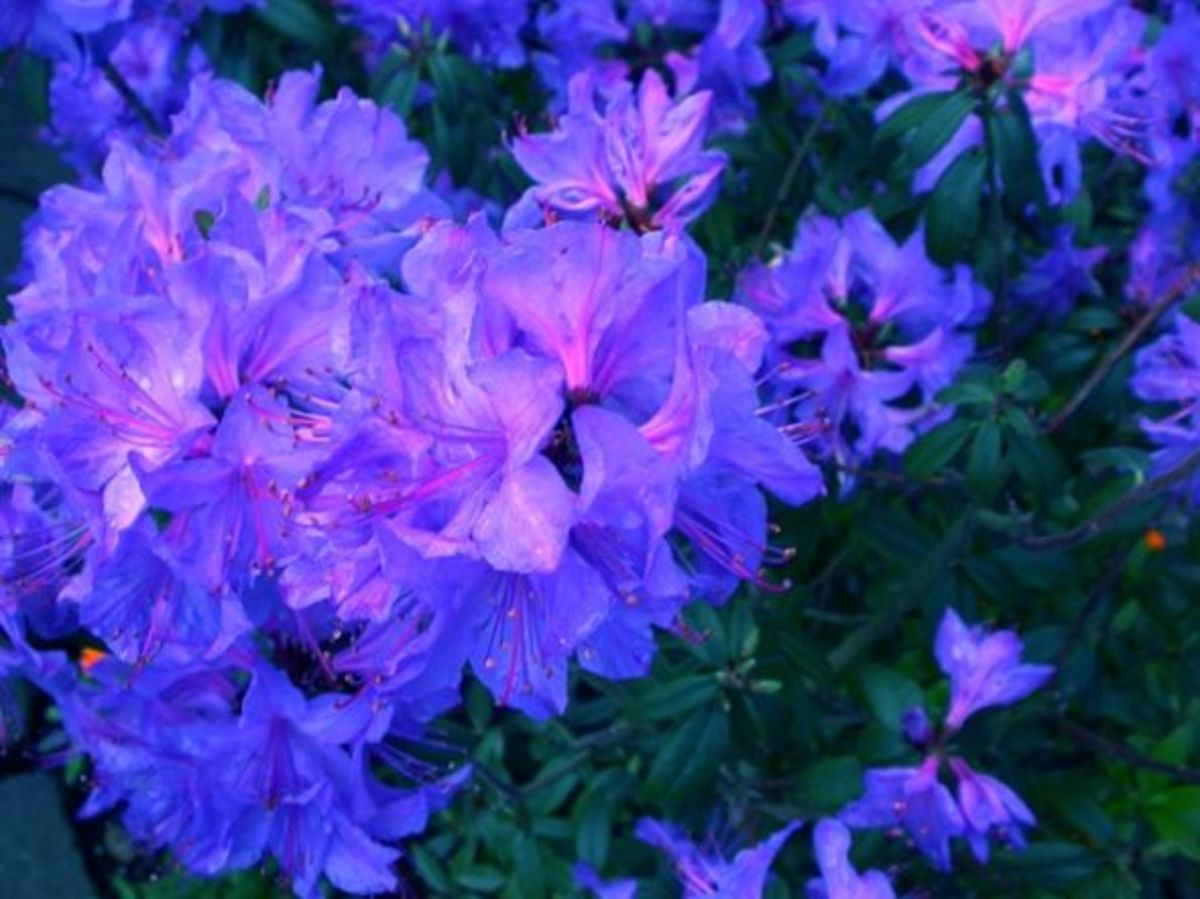 Blaney's Blue Rhododendron