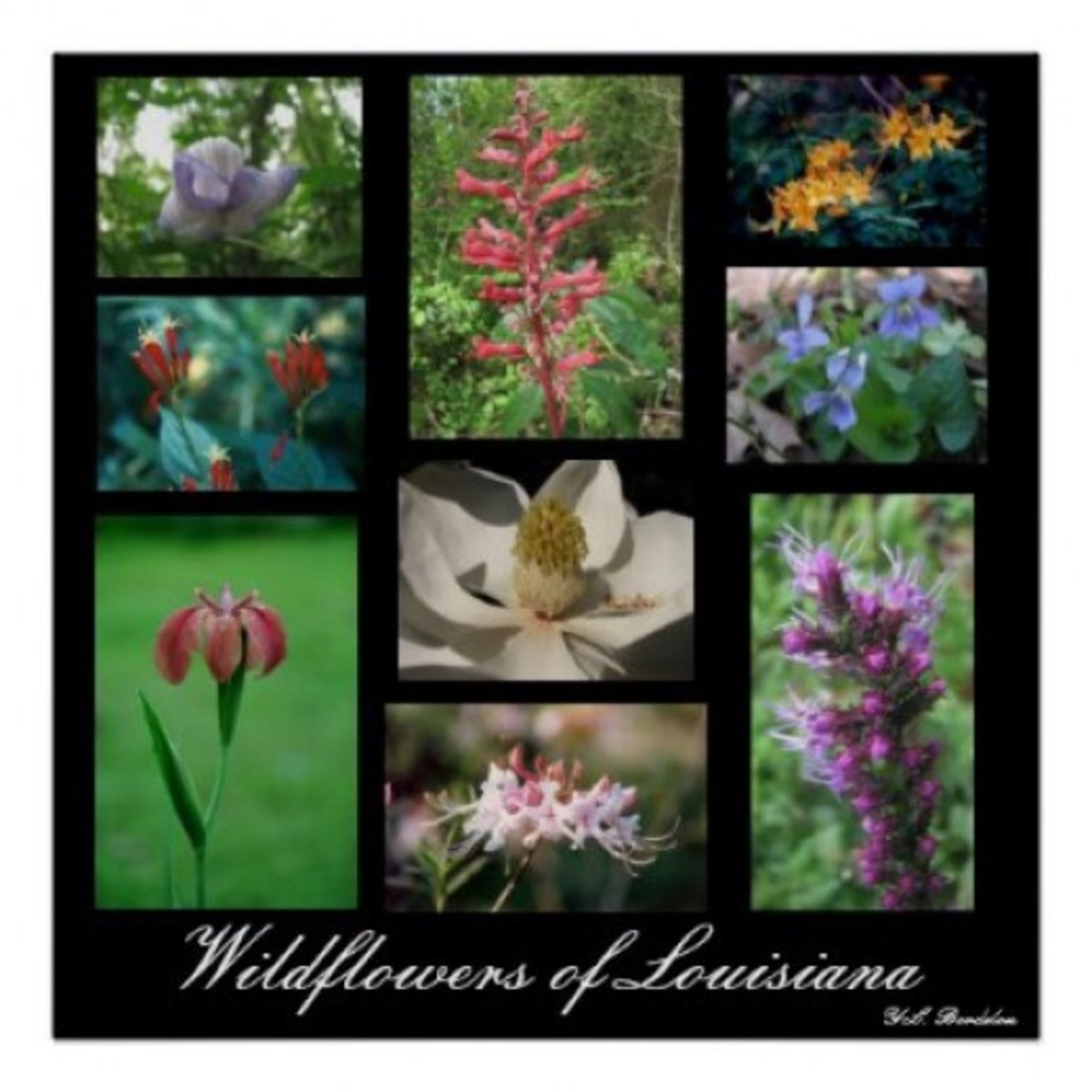 A few of the beautiful wildflowers of Louisiana.
