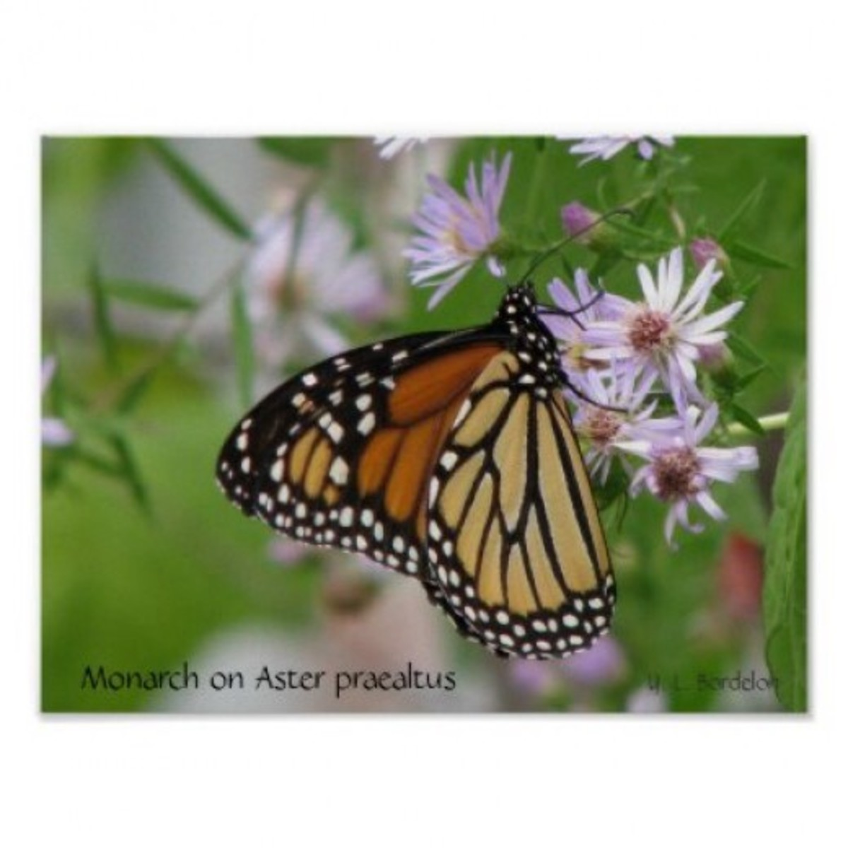 Monarchs and other butterflies flock to wild aster flowers.