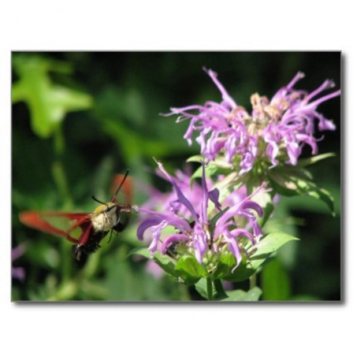 Hummingbird moth visiting Monarda fistulosa.