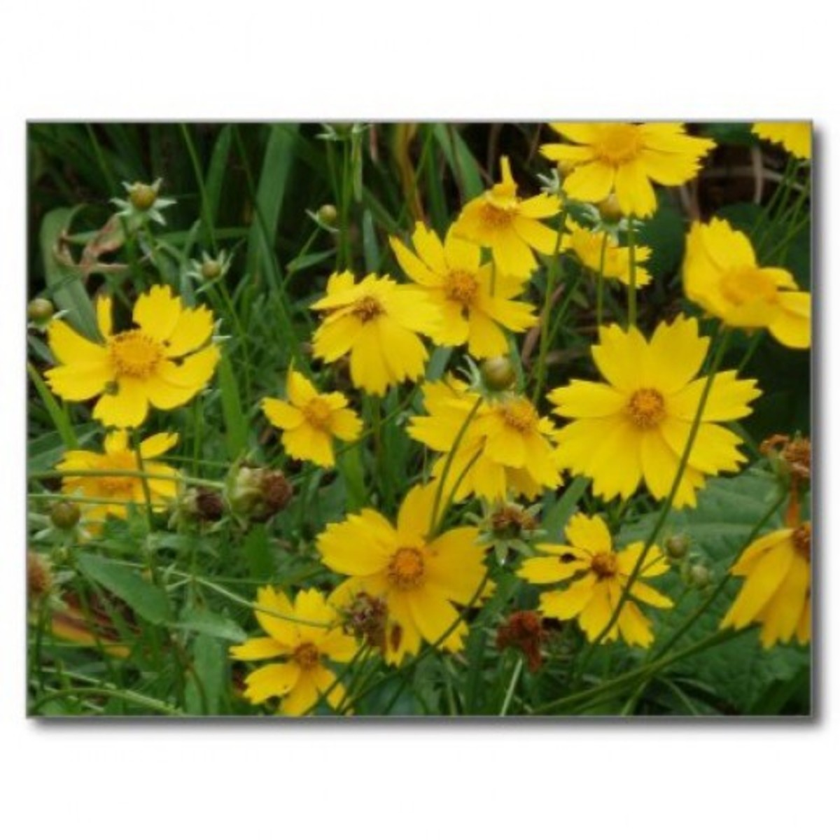 Masses of coreopsis flowers appear in spring.