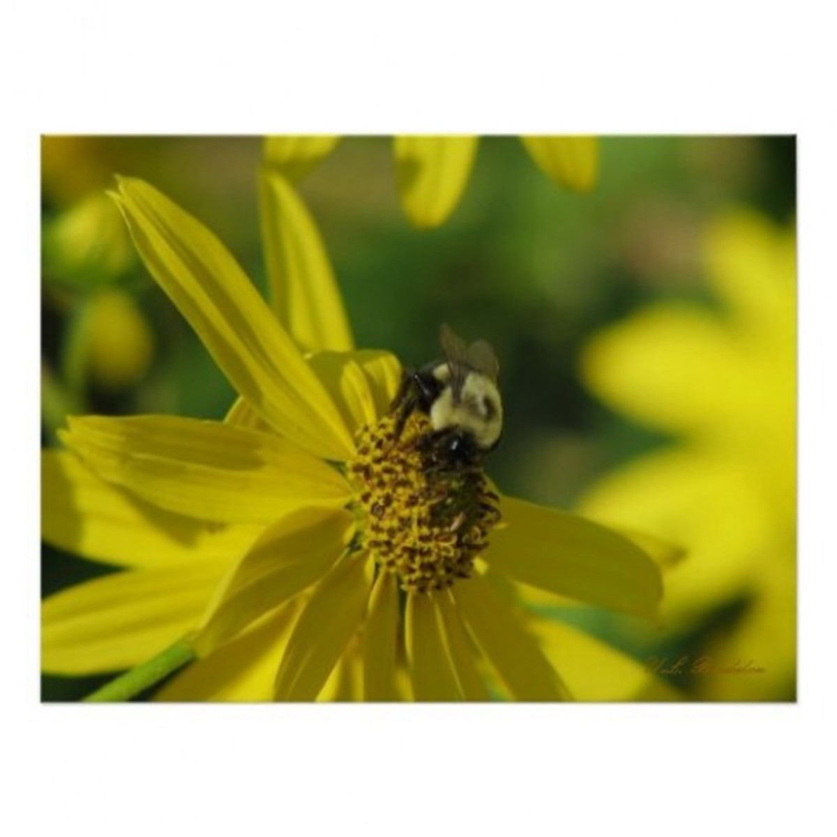 Bumblebees and other native pollinators are attracted to native sunflowers.