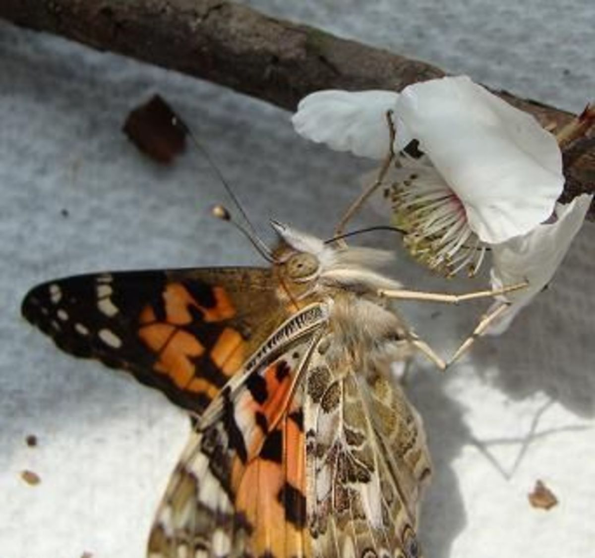 This colorful Painted Lady Butterfly is using his very long proboscis (tongue) to drink from a flower.