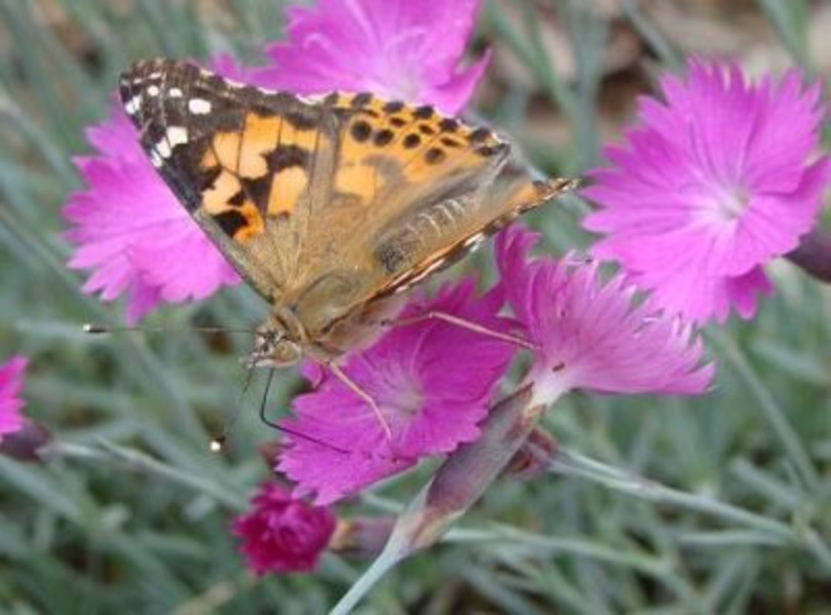 A newly released Painted Lady Butterfly, enjoying some nectar.