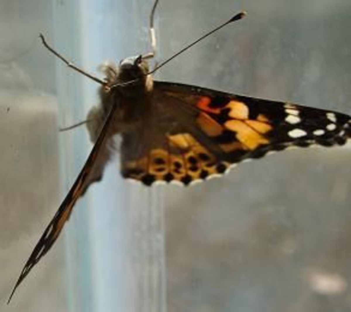 A Painted Lady Butterfly holding on to the sides of the glass aquarium.
