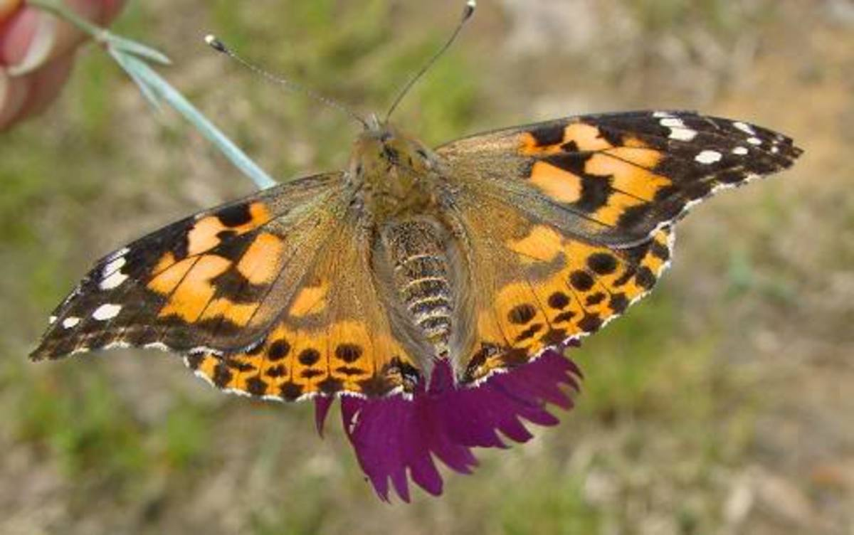 painted-lady-butterflies