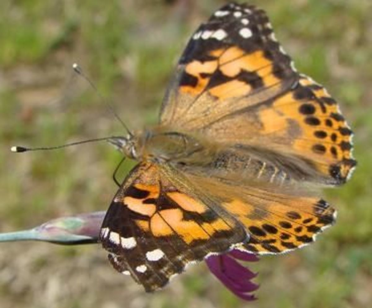 A Painted Lady Butterfly on a flower, several moments after being released.