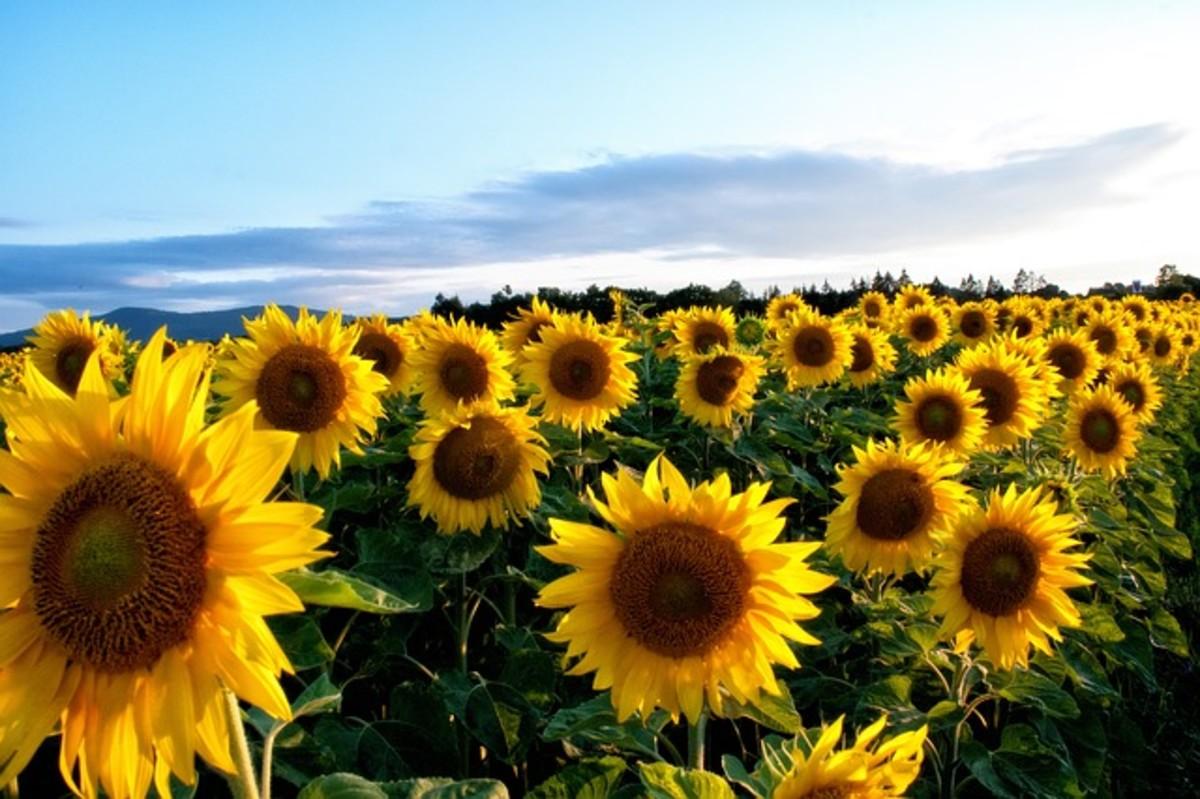 Kansas State Flower' Sunflower