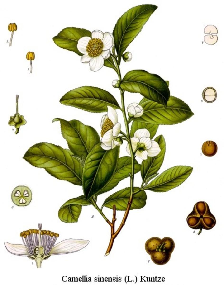 Cemellia sinensis plant