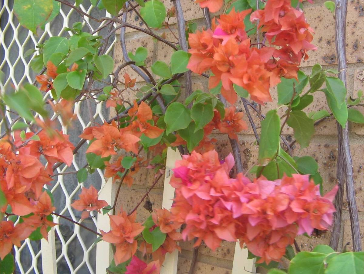 Orange Peach Bougainvilleas