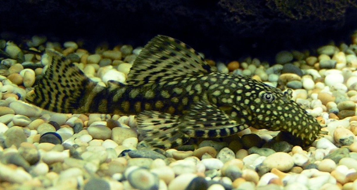 Bristlenose Catfish. Photo: sannse