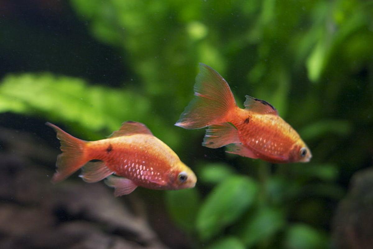 Rosy Barbs. Photo: Kkonstan