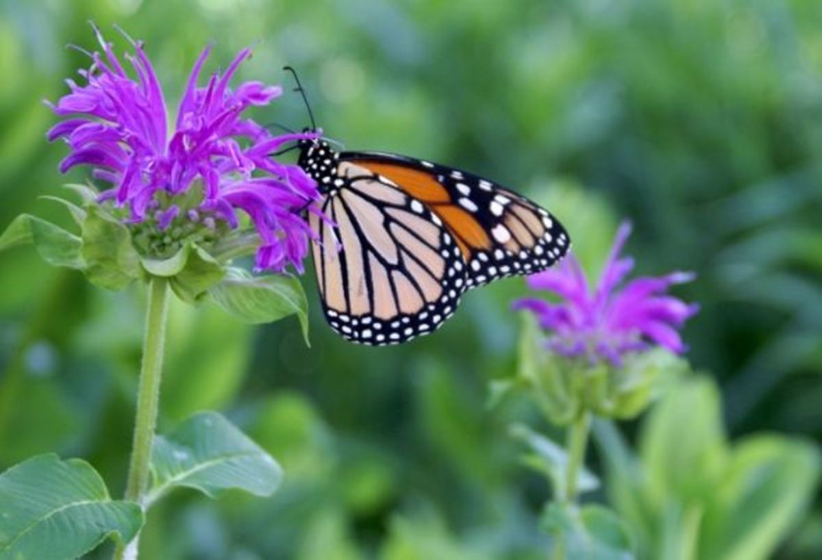 """This beautiful monarch was photographed in the """"backyard"""" butterfly garden.  This garden has plants that were carefully selected to provide nectar sources for native butterflies and to serve as host plants for caterpillars."""