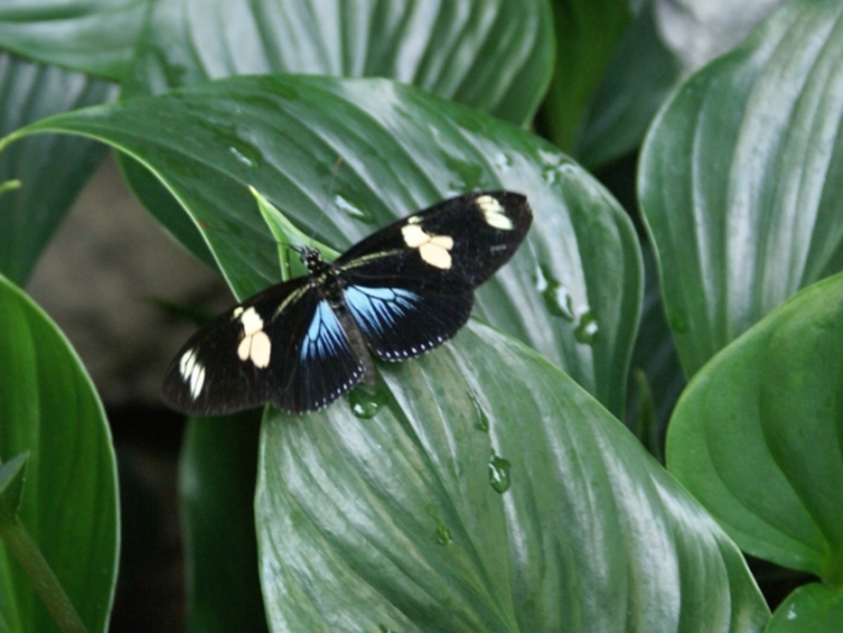 This colorful tropical butterfly has lighted on a green leaf.