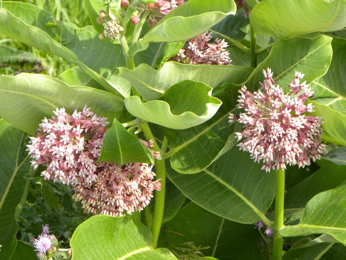 roadside-prairies-flowers-or-weeds