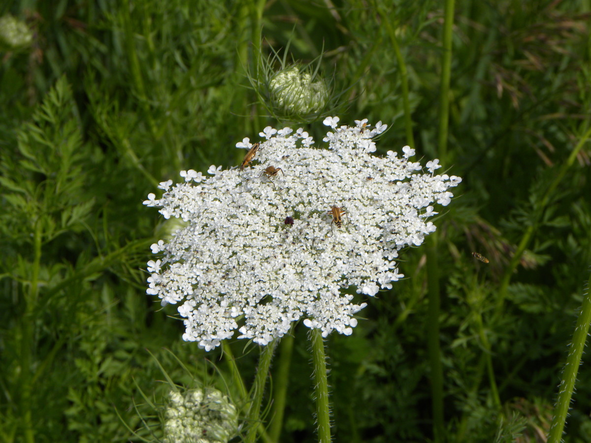 Roadside prairies in iowa flowers or weeds hubpages queen annes lace another favorite white lacey flowers usually these and chicory grow together right along the edge of the road blooms june october mightylinksfo Choice Image