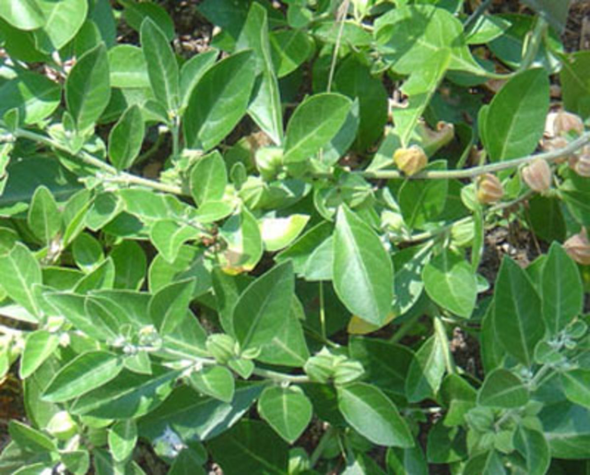 Ashwagandha on trees