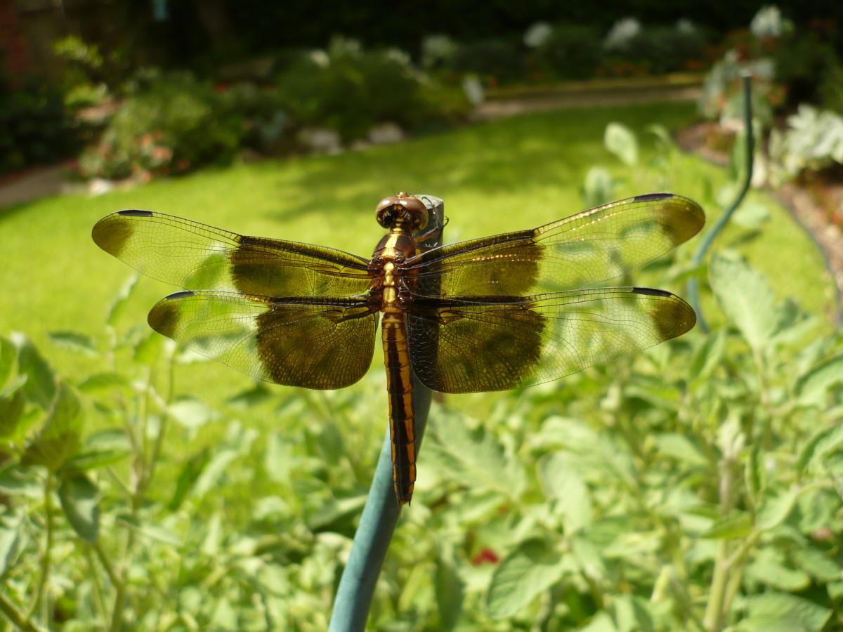 Learn About Beautiful Dragonflies: Pictures Included