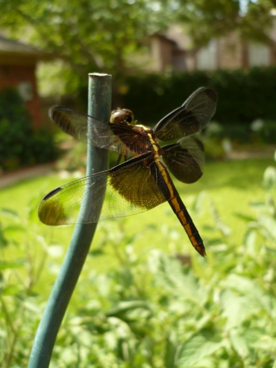 Dragonfly in our garden