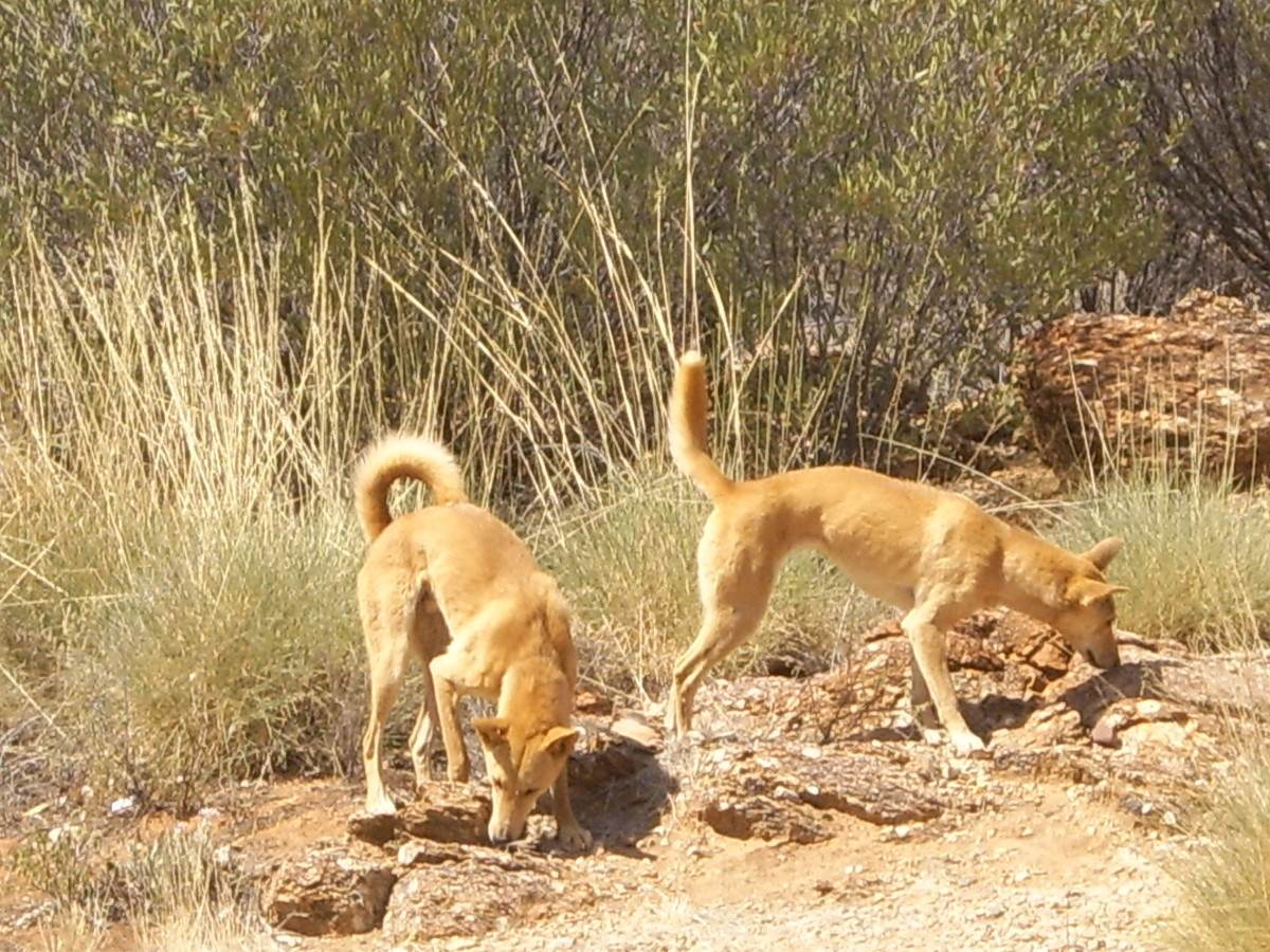 Dingoes at the Alice Springs Desert Park