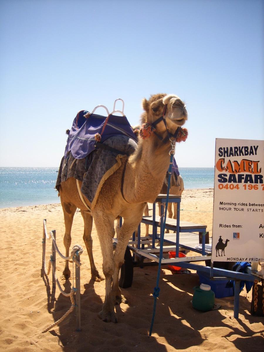 Camel at Monkey Mia