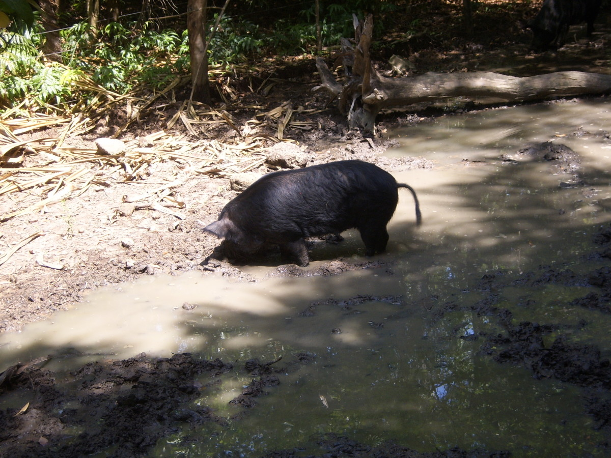 Feral Pig, Northern Territory Wildlife Park