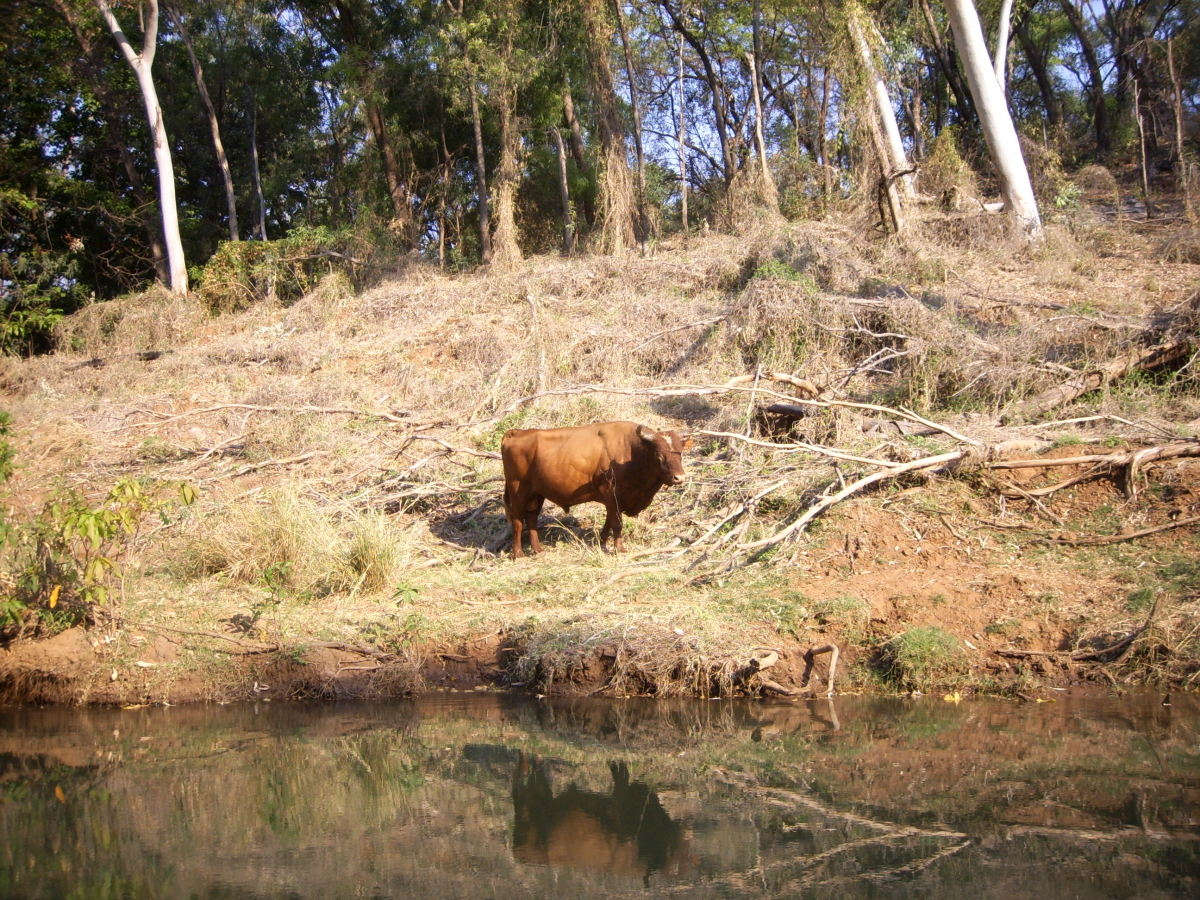 Feral Bull, Ord River, The Kimberley