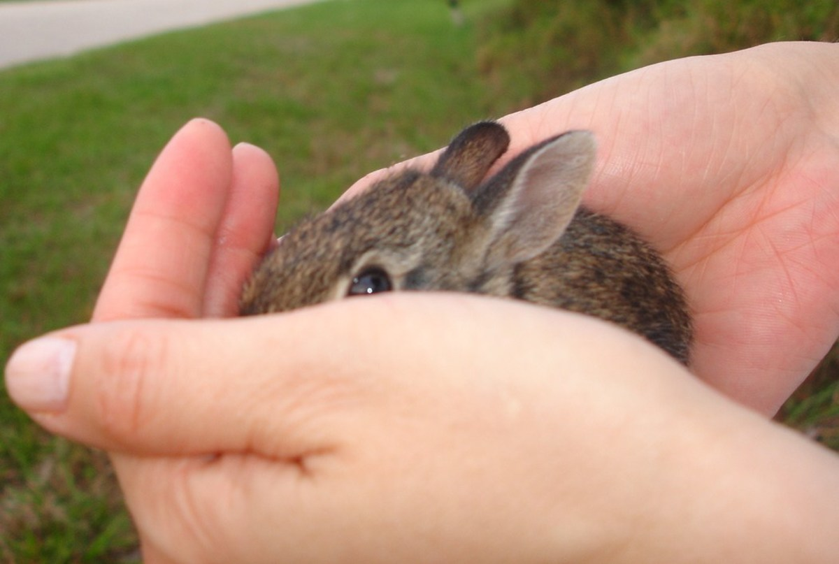 Brown Wild Baby Bunnies and How to Handle them