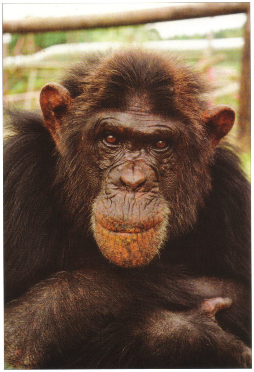 Charlie was a male chimpanzee who was used as a beach photographers prop in Spain. He arrived at Monkey World in 1989. His past had been very traumatic, and when he arrived he was a drug addict, had a broken jaw, cataracts and only four teeth.