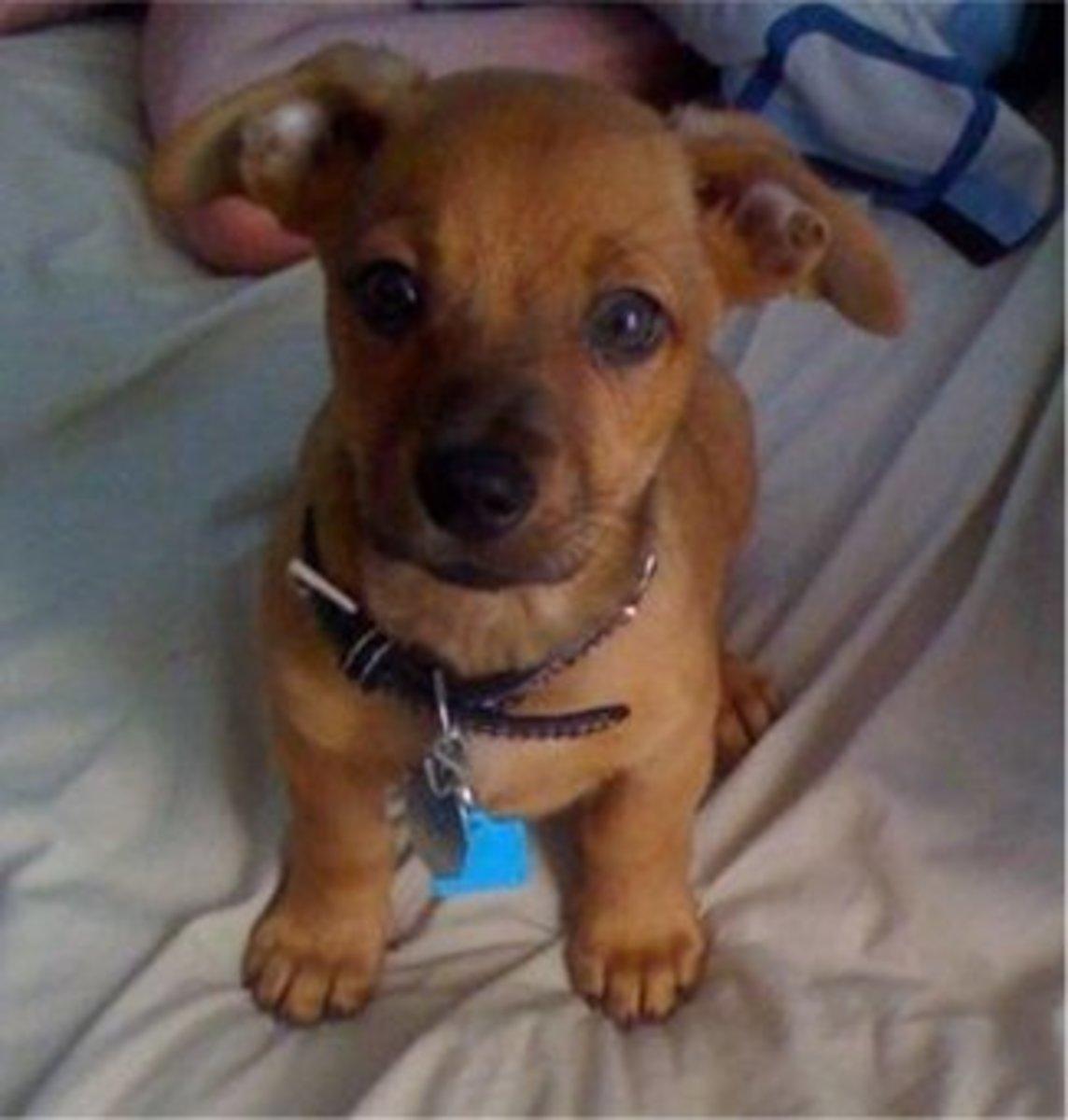 Chiweenie Hybrid Dogs (Mexican Hotdog)