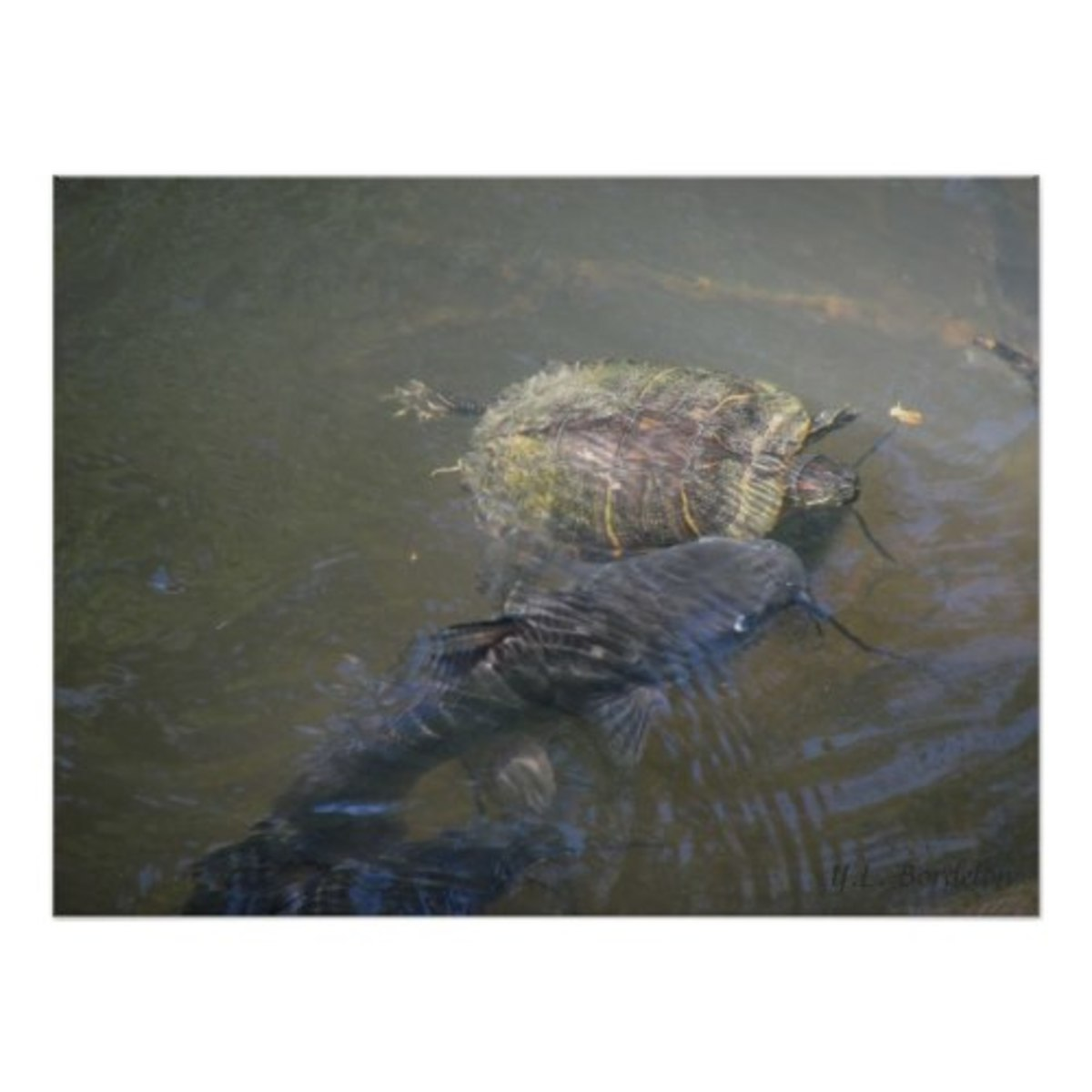 red-eared-slider-turtle-louisiana