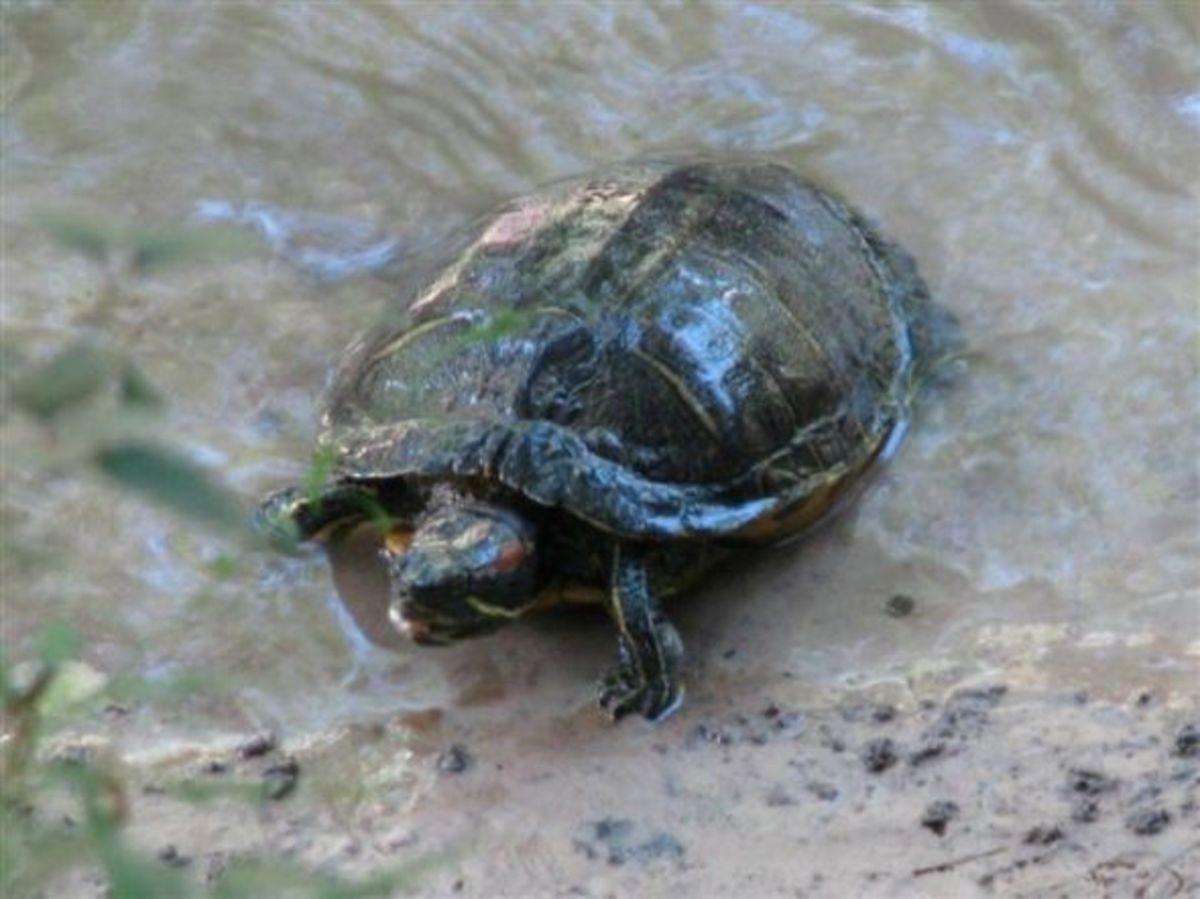 Red-eared Slider Turtle of Louisiana