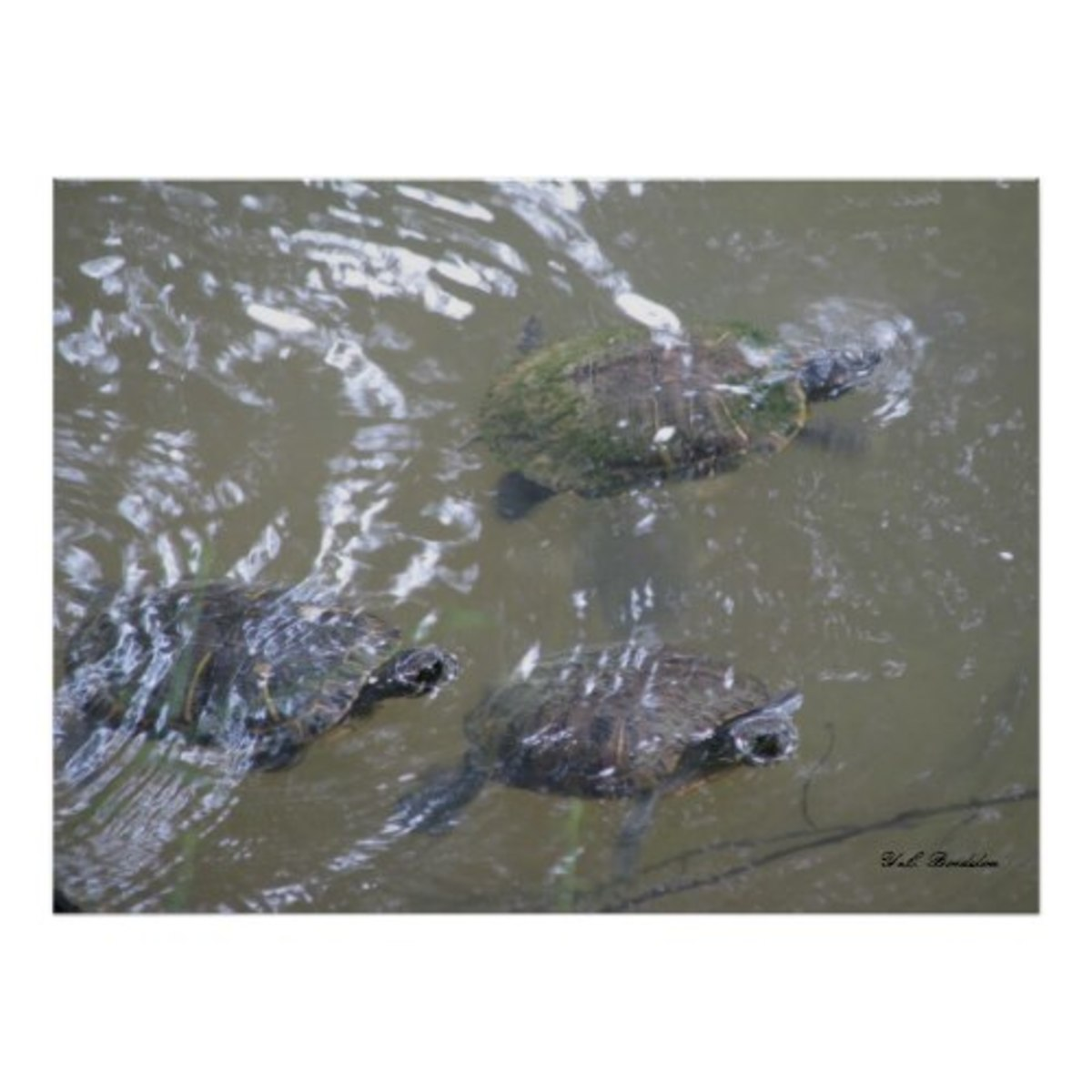 These turtles were photographed in the Tchefuncte River.