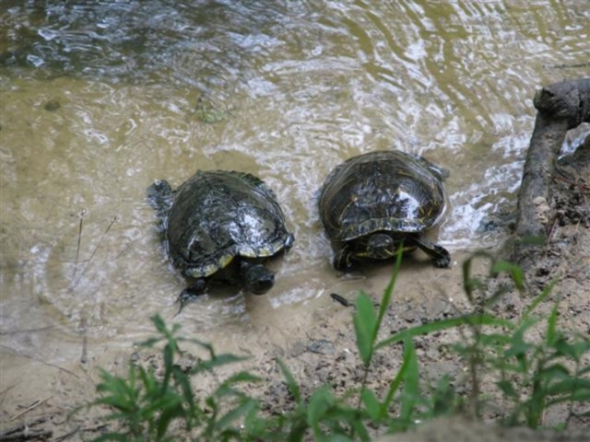 Young turtle comes up from behind so they both get a piece.