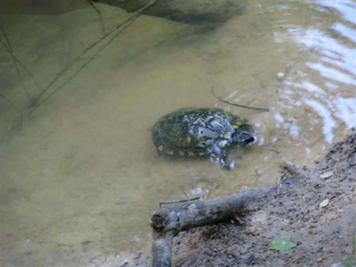 This old male seems to be the dominant turtle in this part of the river.