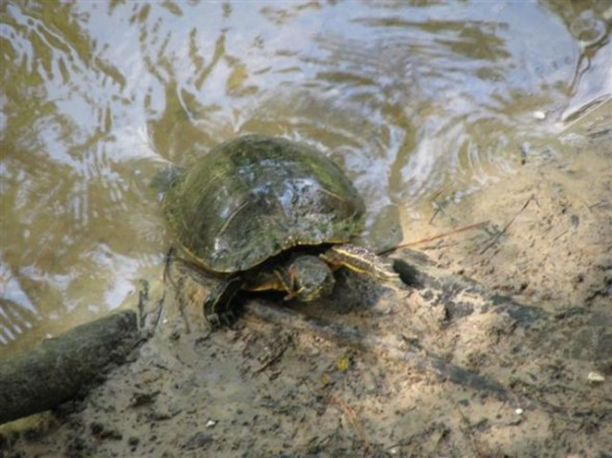 Long claws and a big red mark show that this turtle is a male.