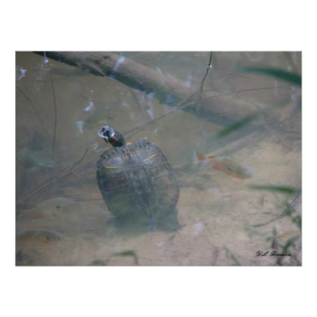 red-eared-slider-turtle-louisiana