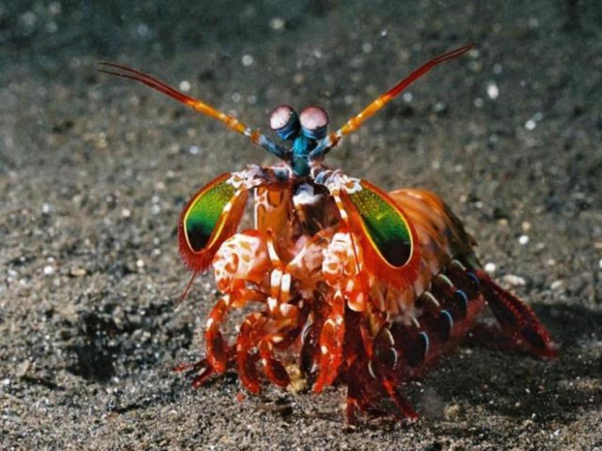peacock-mantis-shrimp