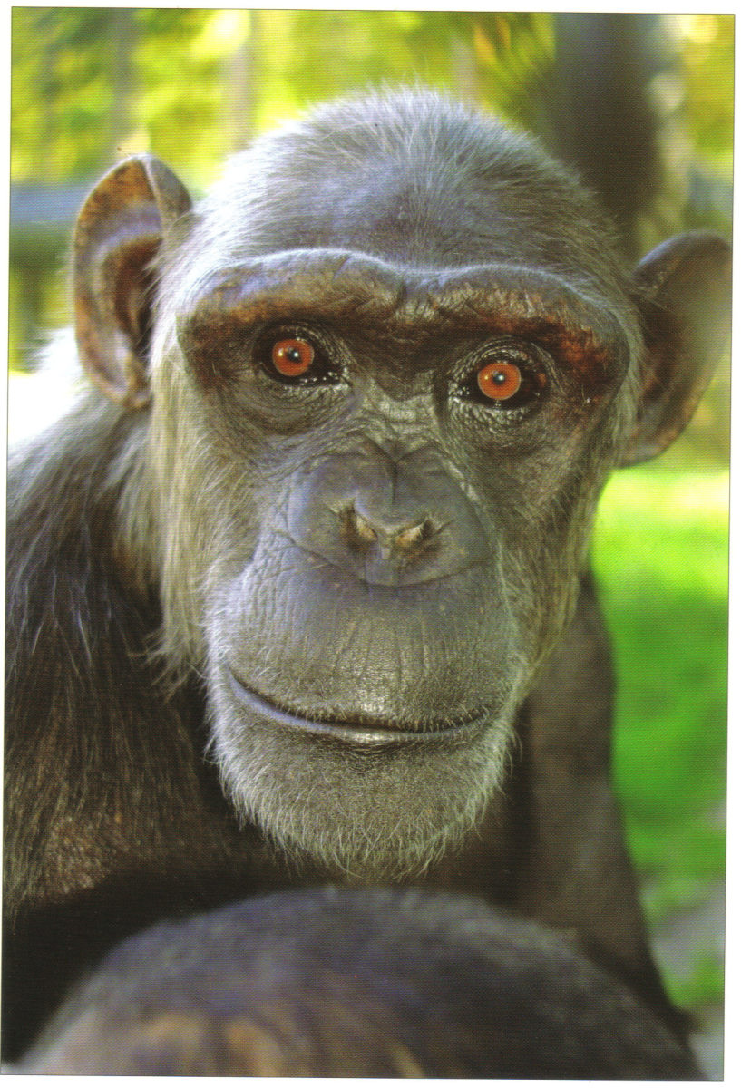 Sally was originally a beach photographers prop in Spain. She arrived at Monkey World in 1993. In 1995 she was moved to the Nursery where she proved to be a very caring adoptive mother for the many babies that were rescued. She is also a very good ro