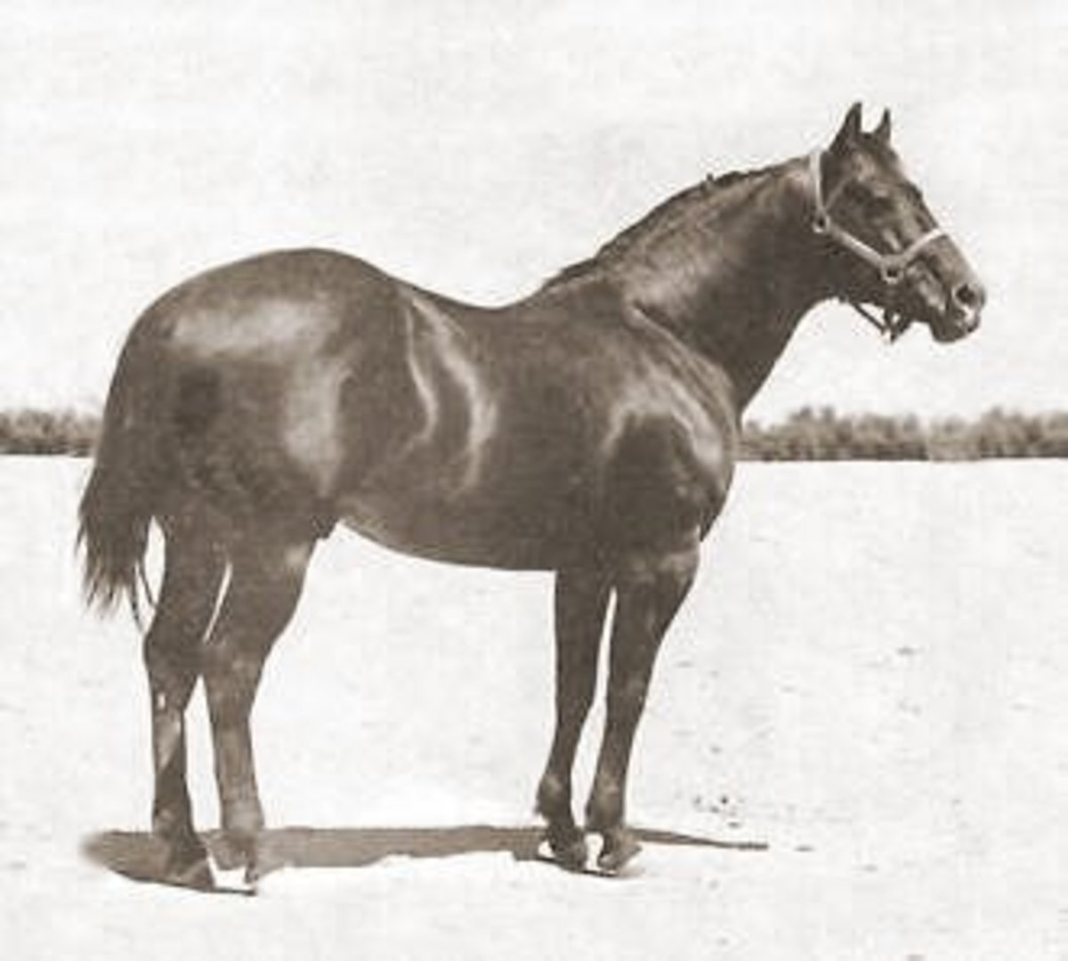 King P-234, one of the most influential foundation sires in the American Quarter Horse.