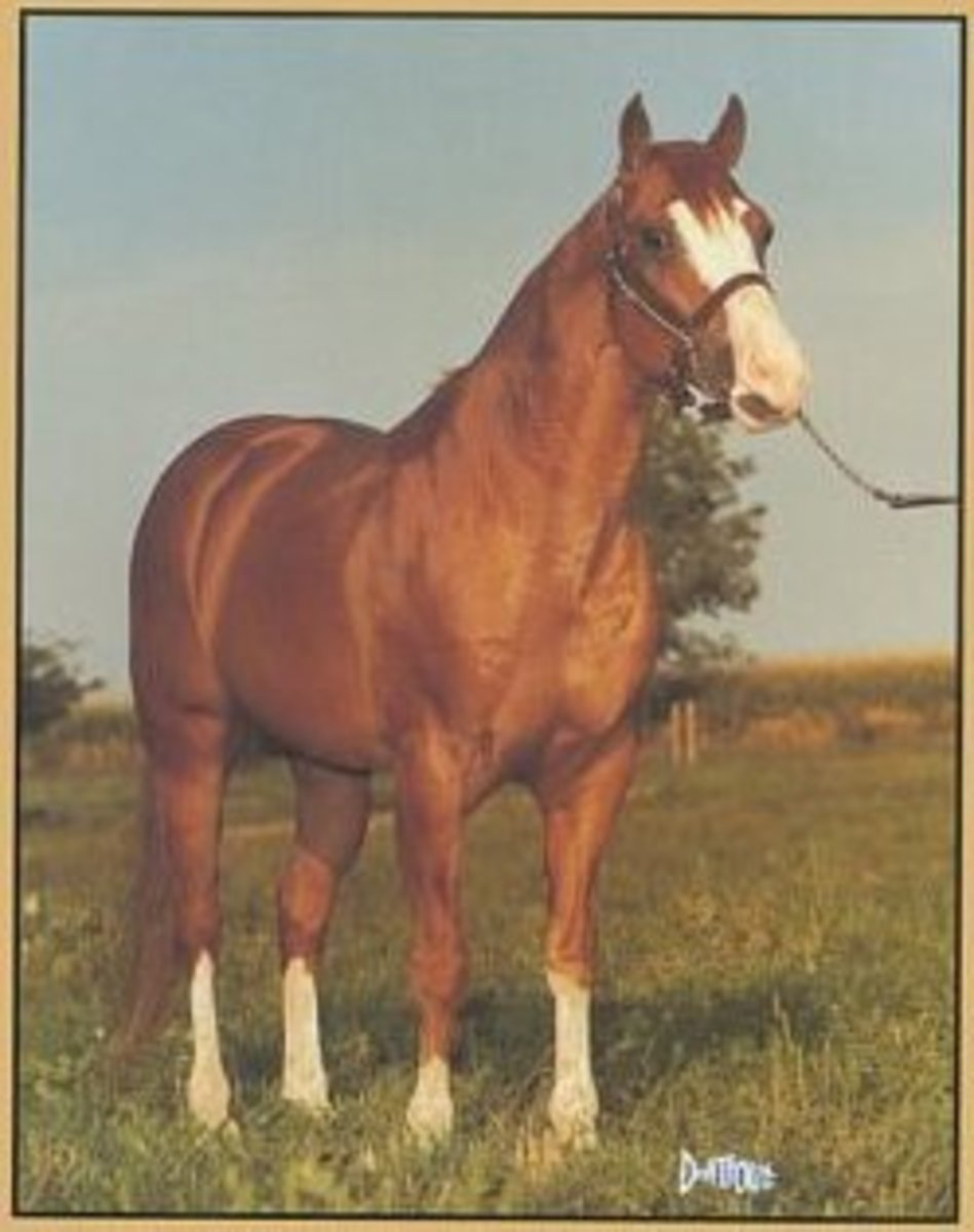A 1961 American Quarter Horse who carried the 'splash' overo gene, producing a line of horses that had distinctive white markings as well as incredible cow sense.
