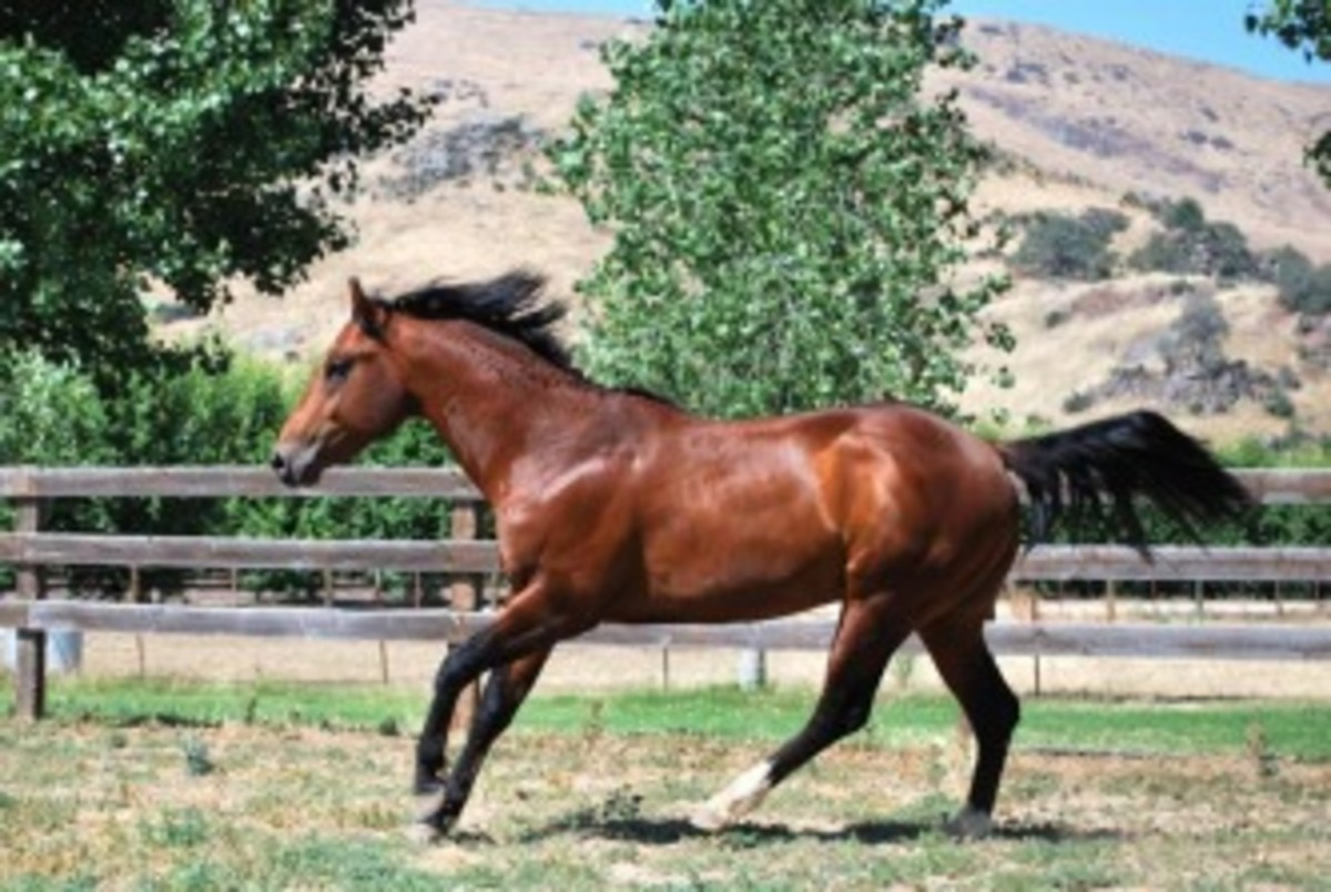 Munez Smokin Tater, 2007 bay AQHA, APHA and 95% NFQHA stallion by the great Cutters Smoke, APHA producer of over 600+ points.  Munez Smokin Tater is a grandson of Mr Gun Smoke and has Cutter Bill on his face papers.  Royal King just one step off his