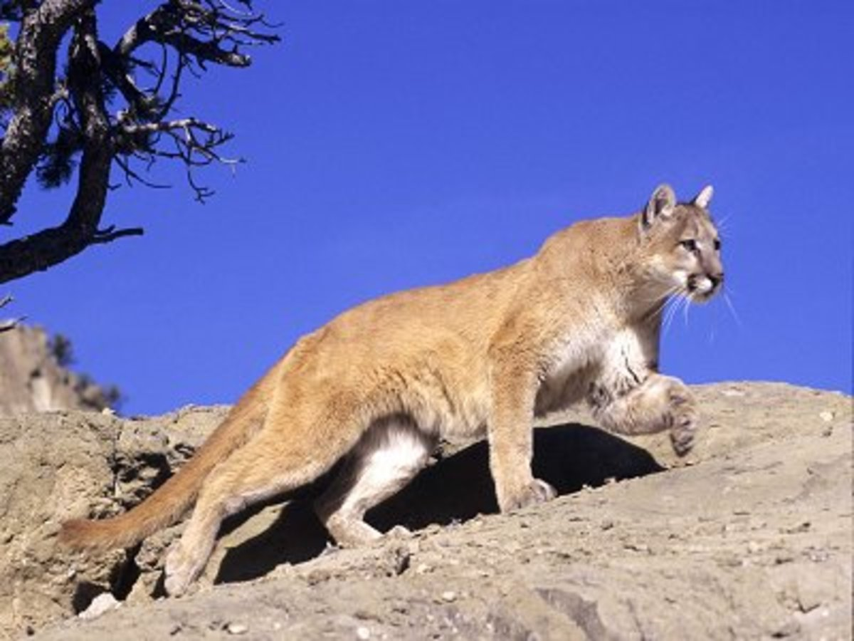 Once while driving home from class, I saw one of these guys...He crossed my path and ran up a mountain!
