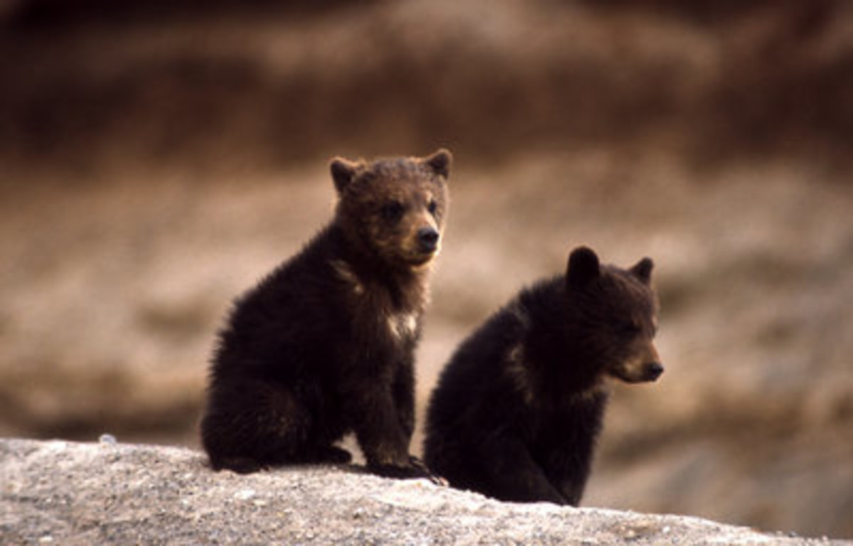 While driving home during a blizzard at a blazing 10 miles an hour, I saw two black bear cubs walking.  I could have touched them they were so close by (but would've been foolish).